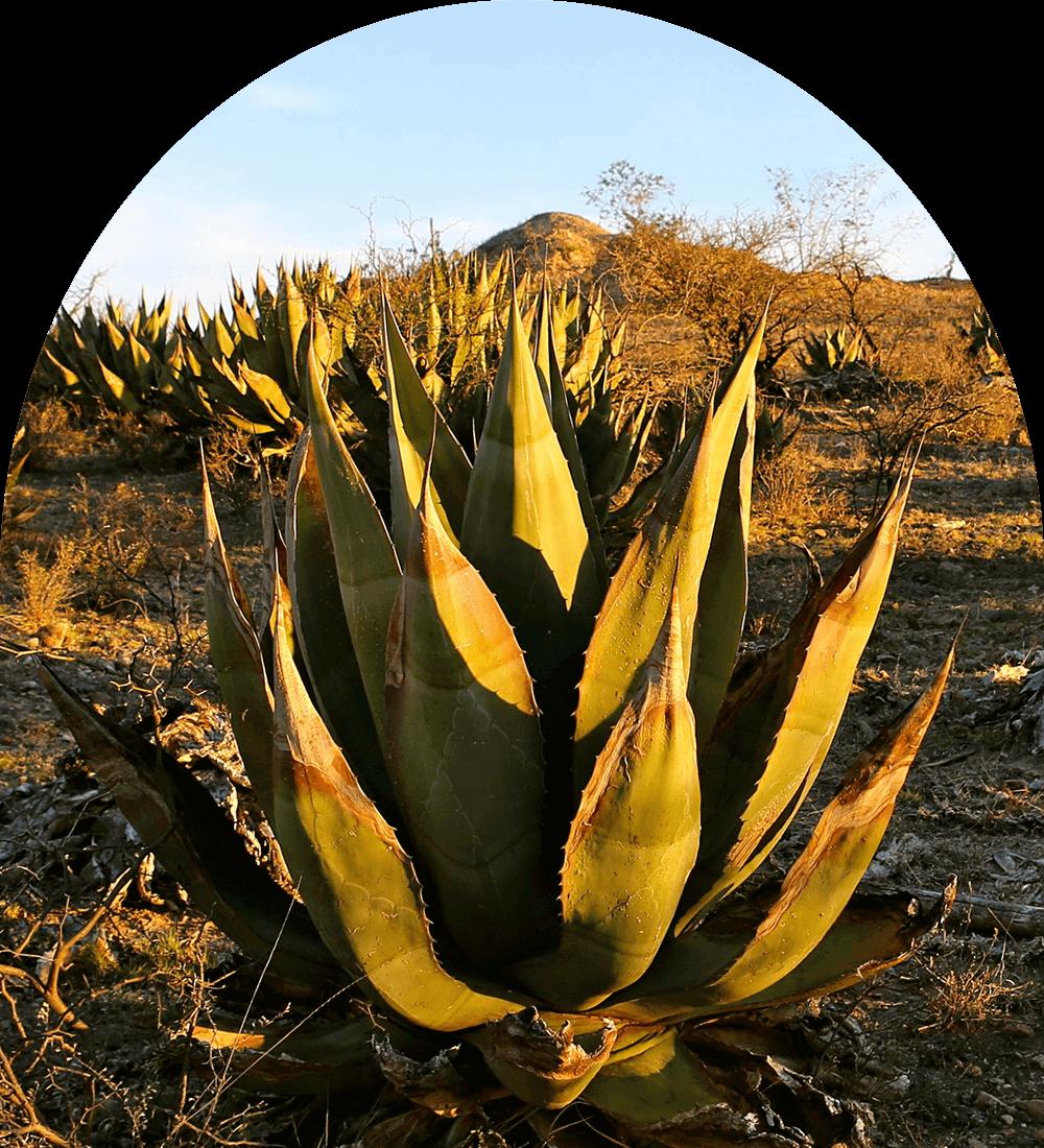 Agave Cenizo Fields
