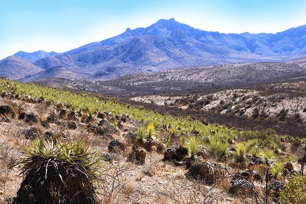 Agave Maximiliana fields - Raicilla