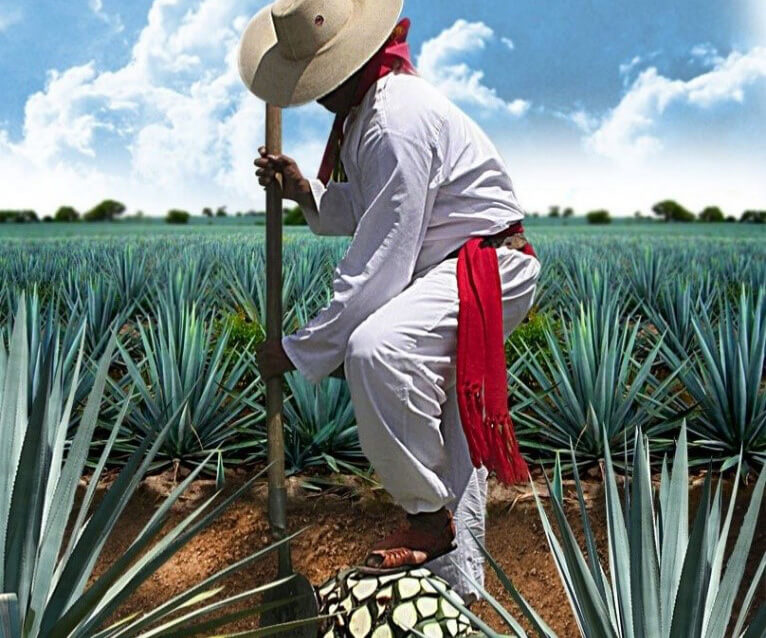 Traditional Jimadors harvesting agave cropped